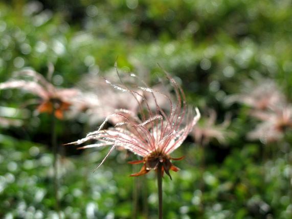 14 チングルマって野草の種だ.JPG