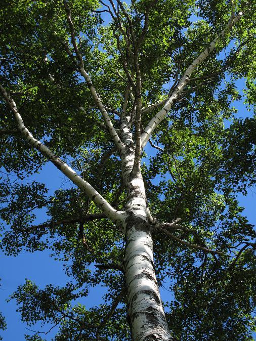 15 この木を見たら九州じゃないって実感します.JPG