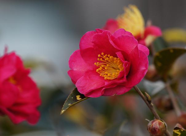 1 山茶花の咲くころ.JPG