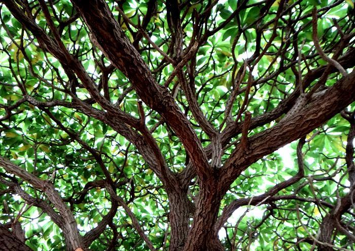 24 木陰に丁度いい木です.JPG