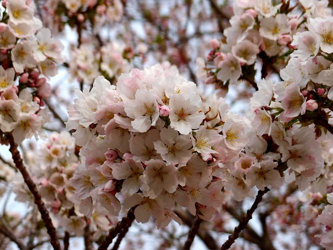 31 今が満開の桜.JPG