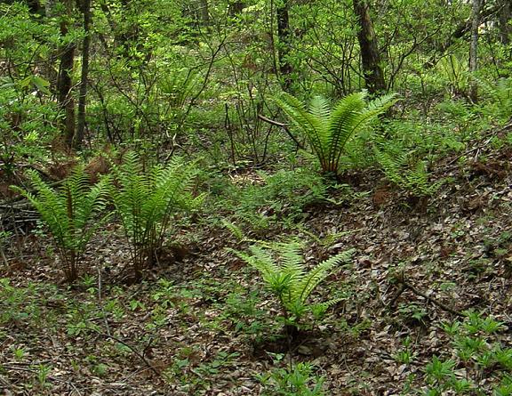 34 森の中はソテツみたいな草がいっぱい.JPG