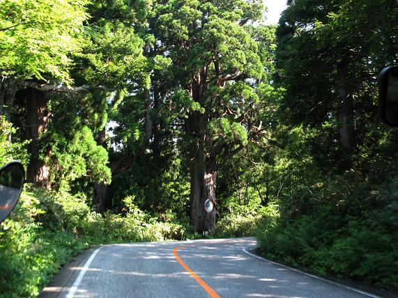 7 巨木の立山杉の宝庫です.JPG