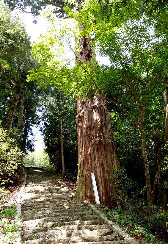8 大杉です.JPG