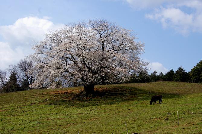才尾の一本桜1.JPG