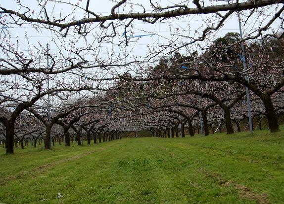桃の畑.JPG