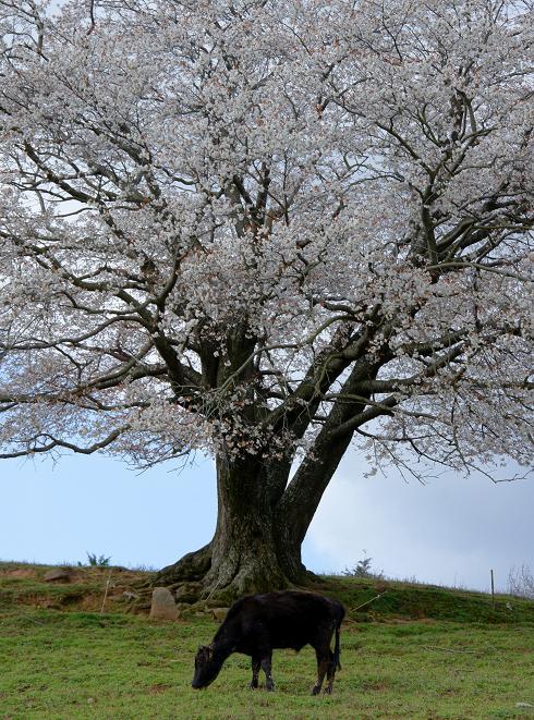 牛と桜.JPG