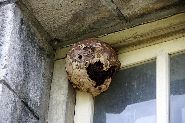 窓枠にはスズメバチの巣.JPG