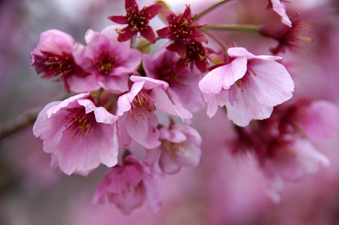 綺麗な桜.JPG