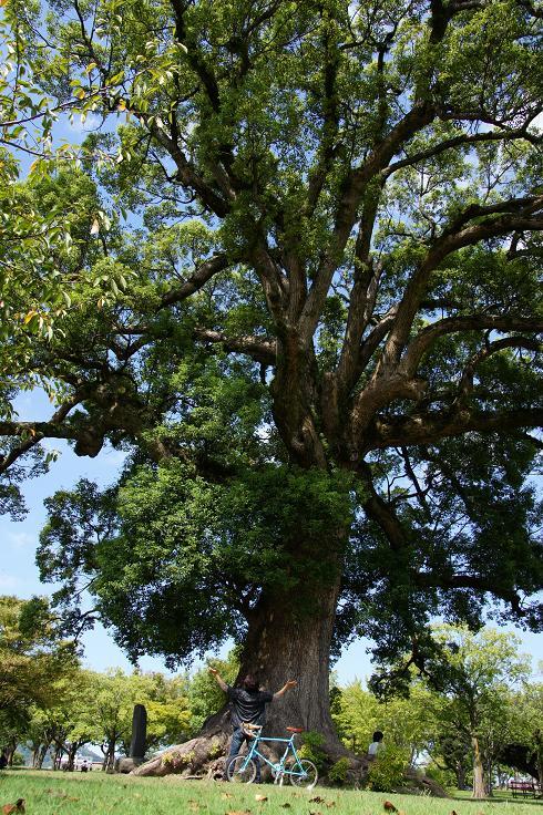 肥後もっこすな楠の木.JPG
