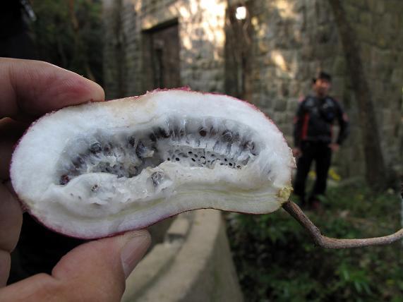 野生のフルーツを堪能します.JPG