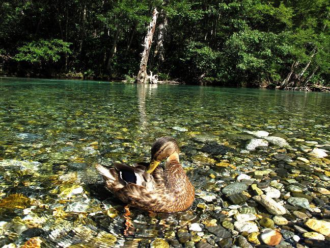 10 日本一綺麗な川にいるカモかも.JPG