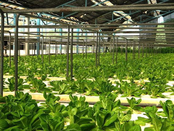 12 野菜のプラント栽培.JPG