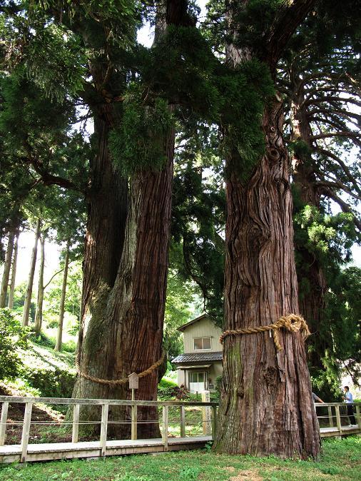 24 栢野の大杉です.JPG