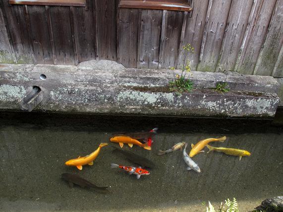 31鯉が泳いでいます.JPG