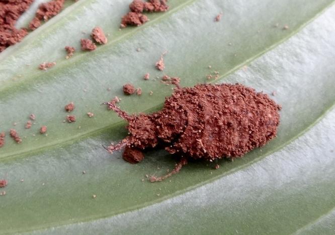 34 ウスバカゲロウの幼虫です.JPG