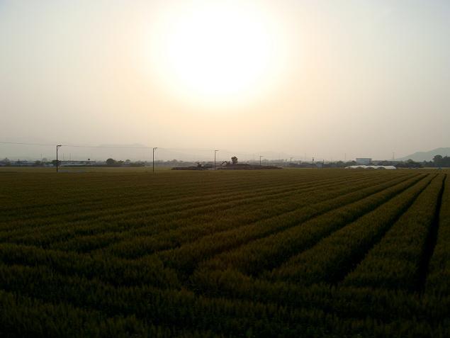 52 筑紫野の麦畑.JPG