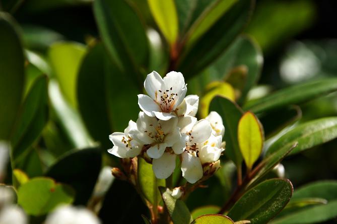 この花も良い香りがします.JPG