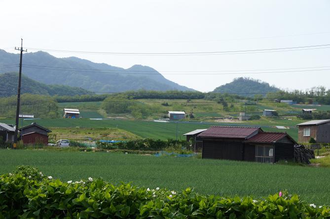 ラッキョウ畑.JPG