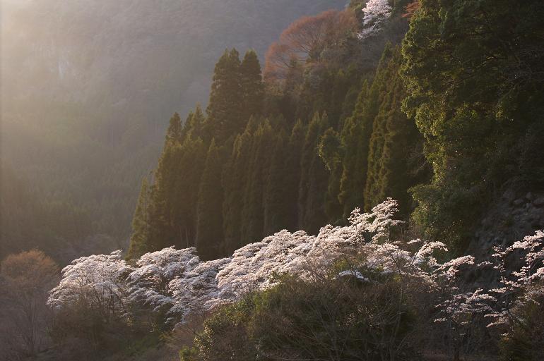 下筌ダムの桜.JPG
