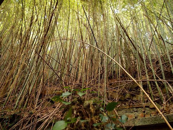 凄い破竹の藪です.JPG