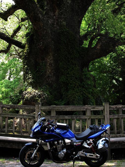 日本一の楠.JPG