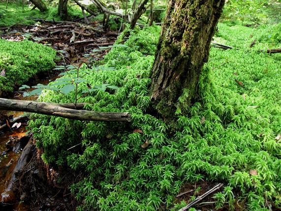 森を守る水蘚.JPG