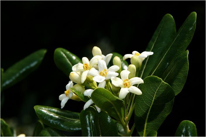 甘い香りの花.JPG