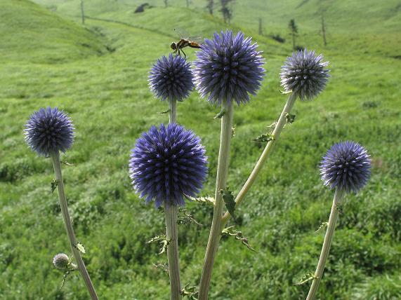 緑の草原にヒゴダイは阿蘇の風物詩だ.JPG
