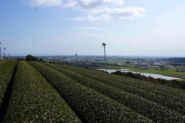 茶畑が広がります.JPG